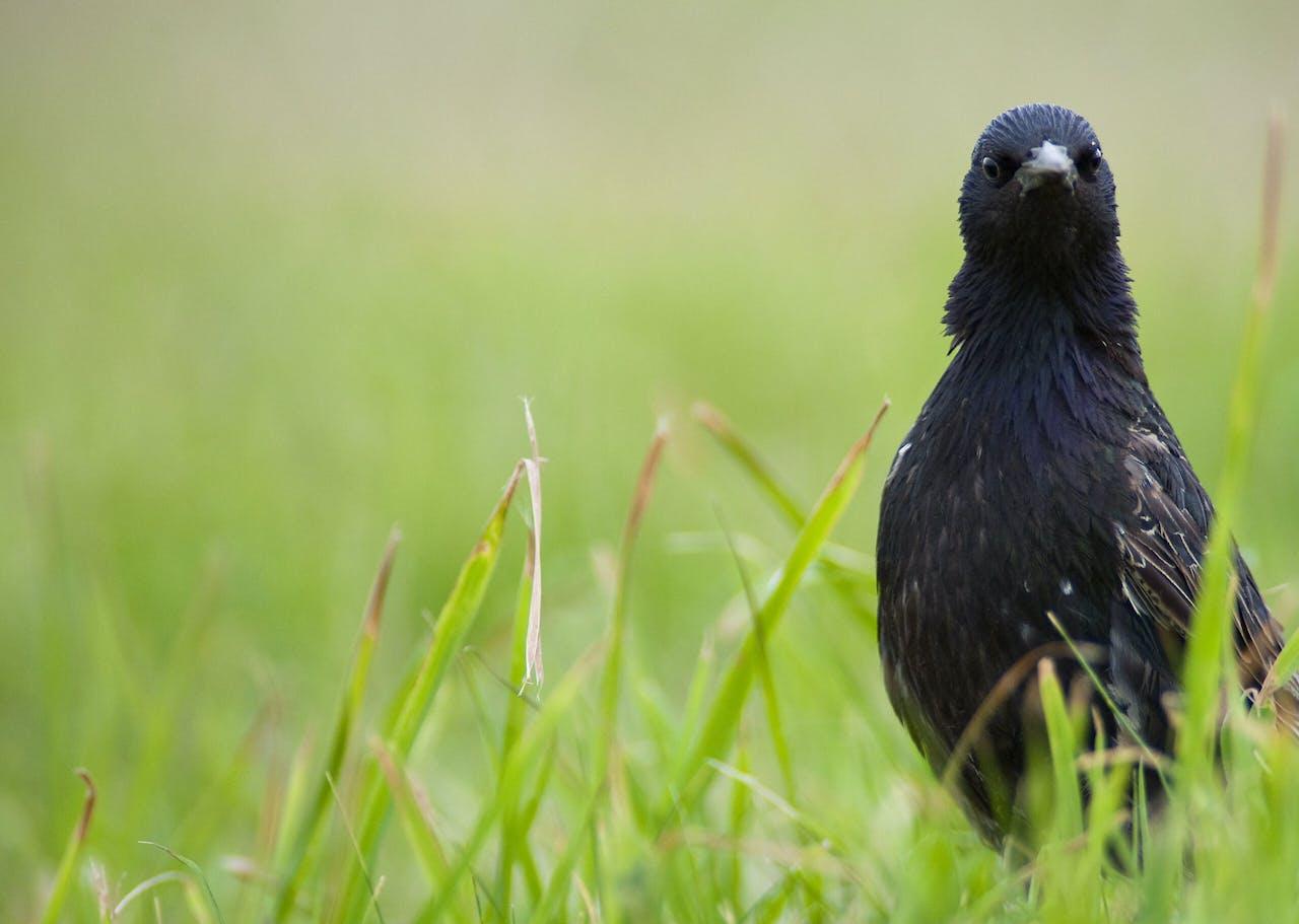 Het westnijlvirus is mogelijk via besmette trekvogels ons land binnen gekomen