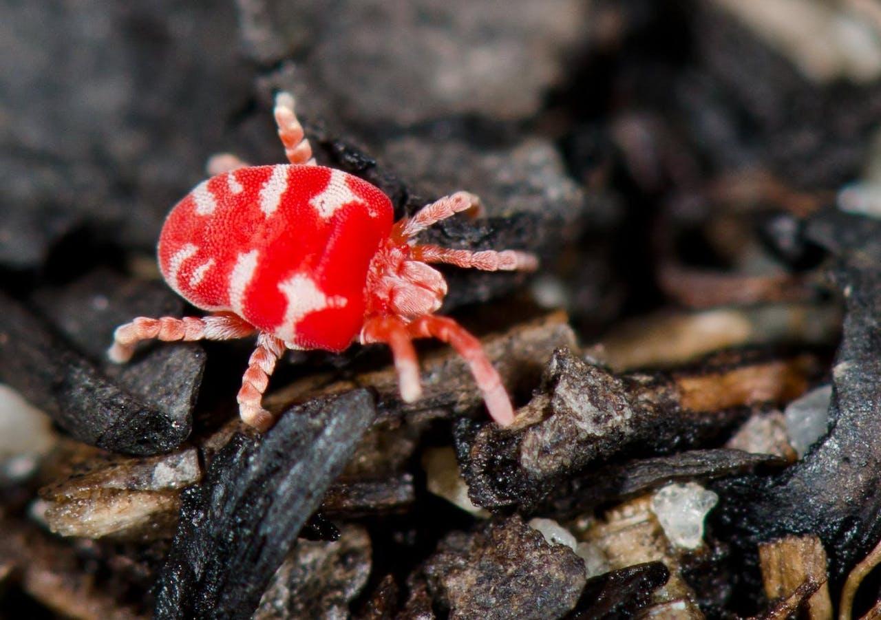 A red and white velvet mite
