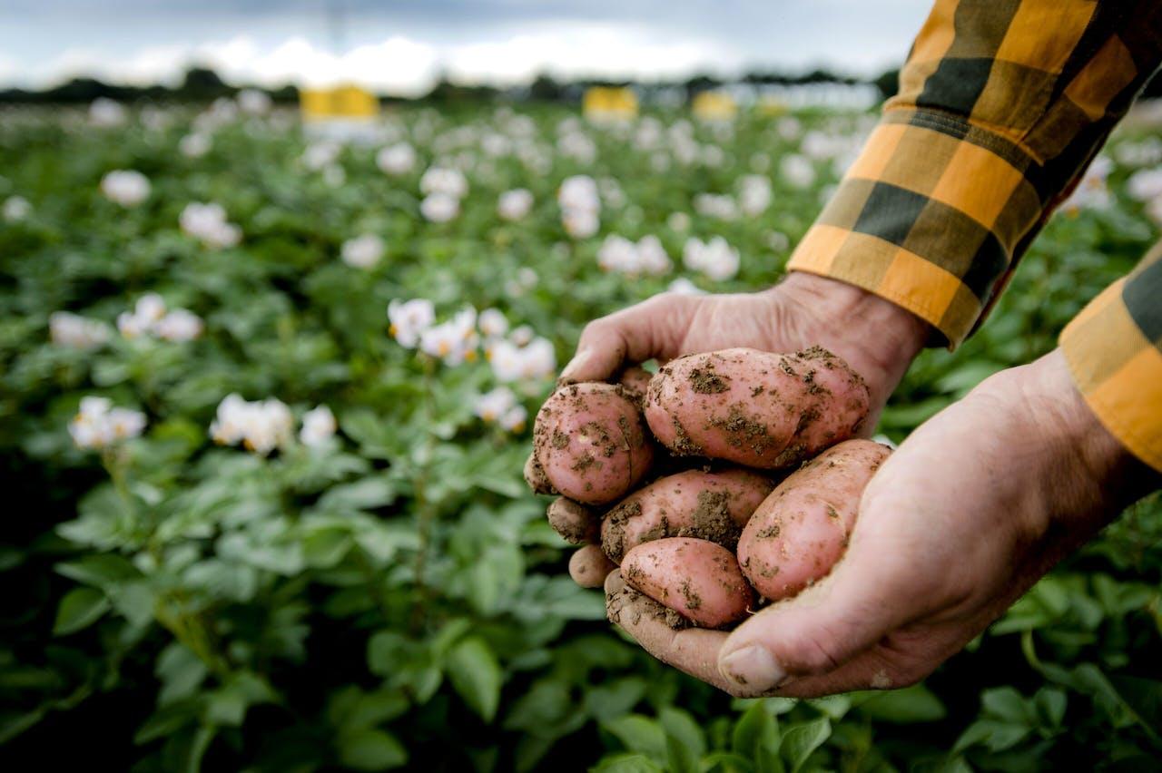 2015-09-02 14:34:53 WAGENINGEN - Cisgeen genetisch gemodificeerde aardappelen uit een aardappelveld. Volgens onderzoek blijkt de stapeling van genen noodzakelijk voor een sterke en duurzame resistentie tegen phytophthora infestans (aardappelziekte) in aardappelen. ANP ROBIN VAN LONKHUIJSEN