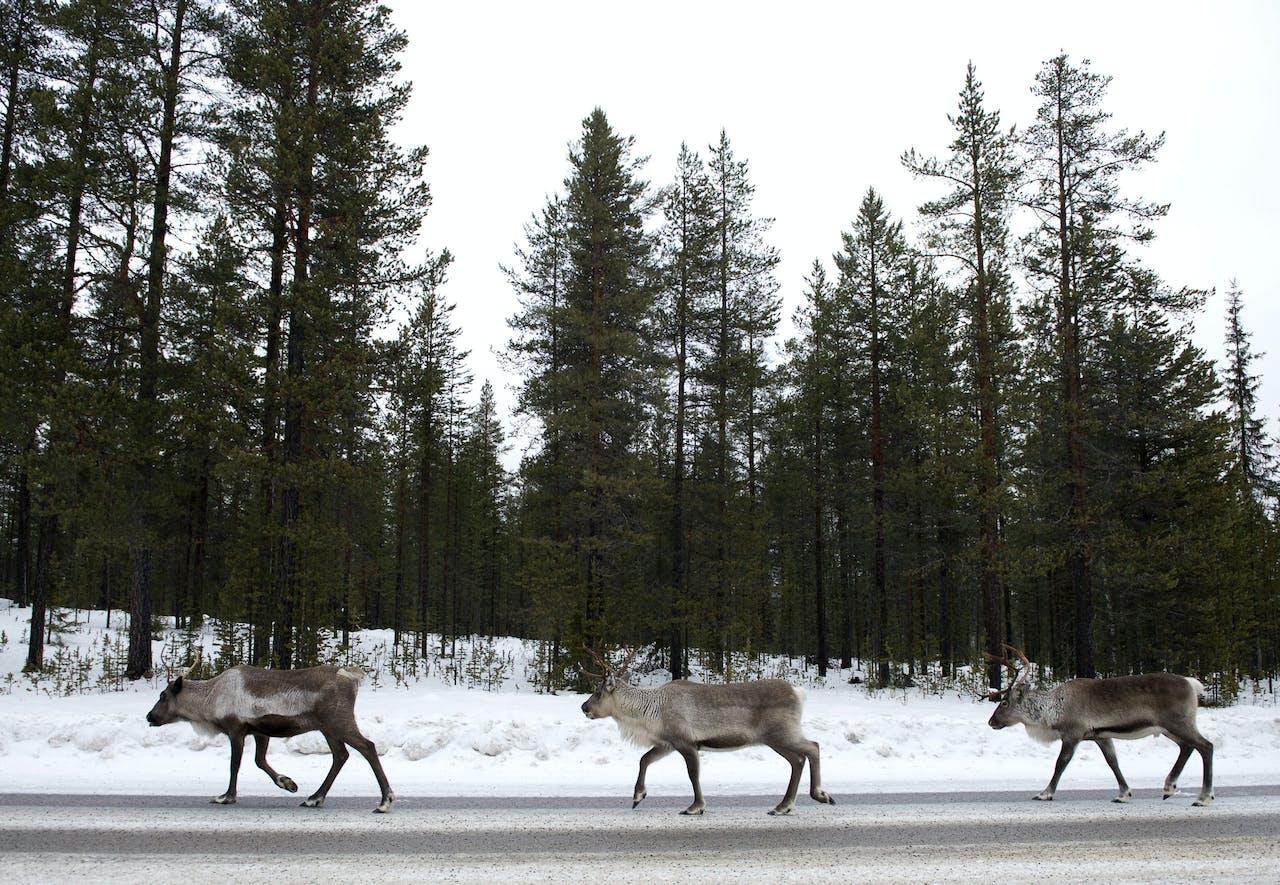 Rendieren zoeken naar zout op de snelweg in Zweeds Lapland - AFP PHOTO/JONATHAN NACKSTRAND